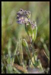 Buglosse des champs (Anchusa arvensis)