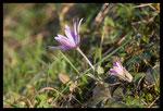 Anémone des jardins (Anemone hortensis)