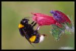Bourdaon terrestre (Bombus terrestris)