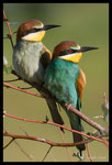 Couple de guêpiers d'Europe (Merops apiaster)