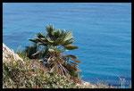 Palmier nain (Chamaerops humilis)