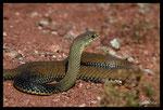 Couleuvre de Montpellier (mâle)
