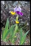 Iris nain (Iris lutescens) et Tulipe sauvage (Tulipa sylvestris)