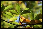 Châtaigner (Castanea sativa) à l'automne