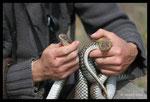 Manipulation de Couleuvres de Montpellier (mâle) lors d'un suivi scientifique