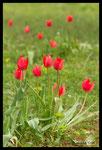 Tulipe précoce (Tulipa raddii)