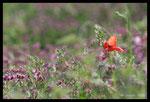 Coquelicot (Papaver rhoeas) sur fond de Turgénie à larges feuilles (Turgenia latifolia)