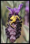 Thomise (Thomisus onustus) dans l'attente d'une abeille