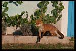 Le chapardeur de raisin - Renard roux (Vulpes vulpes)
