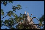 Jeunes Hérons cendrés (Ardea cinerea) au nid distraits par un papillon