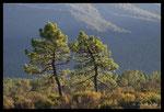 Pins maritimes (Pinus pinaster)