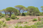 Pins parasols (plaine des Maures)