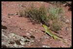 Rencontre entre un Lézard ocellé (mâle) et une Couleuvre de Montpellier (femelle)
