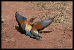 Couple de guêpiers d'Europe (Merops apiaster) au nourrissage (nid creusé sur le sol)