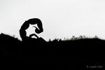 Scorpion languedocien (Butus occitanus)