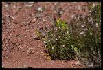 Couple de Lézards ocellés (Timon lepidus) bien caché