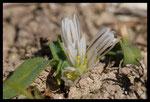 Ail Petit-Moly (Allium chamaemoly)