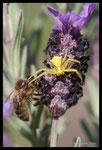 Thomise (Thomisus onustus) en train d'attraper une abeille...