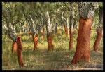Chêne liège (Quercus suber)