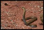 Couleuvre de Montpellier (Malpolon monspessulanus) femelle