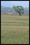 Champs de blé et messicoles