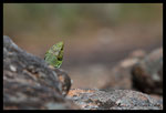 Lézard ocellé (mâle)