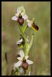 Ophrys brillant (Ophrys splendida)