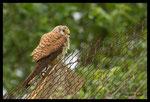 Faucon crécerelle (Falco tinnunculus) femelle
