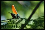 Femelle de Caloptéryx vierge (Calopteryx virgo)