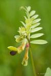 Vesce noirâtre (Vicia melanops)