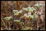 Paronyque en cyme (Chaetonychia cymosa)