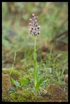 Orchis à long éperon (Anacamptis longicornu)
