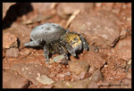 Eresus kollari femelle - Plaine des Maures (83)