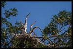 Jeunes Hérons cendrés (Ardea cinerea) au nid observant un passage d'oiseaux