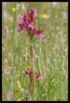 Orchis papillon (Orchis papilionacea)
