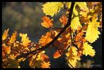 Feuilles de Chêne blanc (Quercus pubescens)