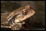 Crapaud épineux (Bufo spinosus) femelle