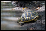 Tortue d'Hermann (Testudo hermanni) en train de boire