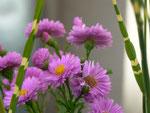 Gîte Allier Le Pin - bouquet d'asters