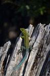 bunter Salamander - gesehen bei Pucon auf der Wanderung mit Rudi