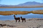 Besuch von Lamas