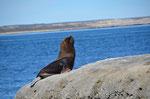 Seelöwen Männchen posiert