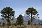 Araukarien und Blick auf den Vulkan Lanin