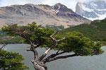Vom Wind geplagter Baum