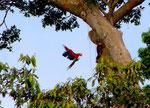 Ara im Anflug auf sein Nest