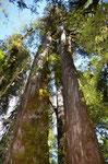 4000 Jahre alte Alerces Bäume