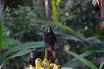 Die Beiden haben gerade eine Bananenstaude erobert