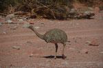 Nandu - Verwandter vom Emu
