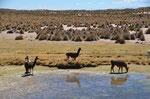 Lamas als Haustiere