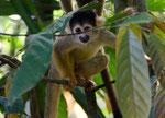 Die Affen rasen durch den Wald....